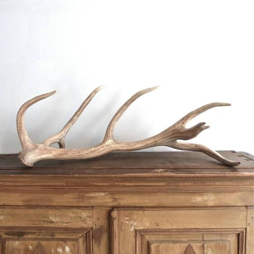VERY LARGE & IMPRESSIVE BLEACHED RED STAG ANTLER