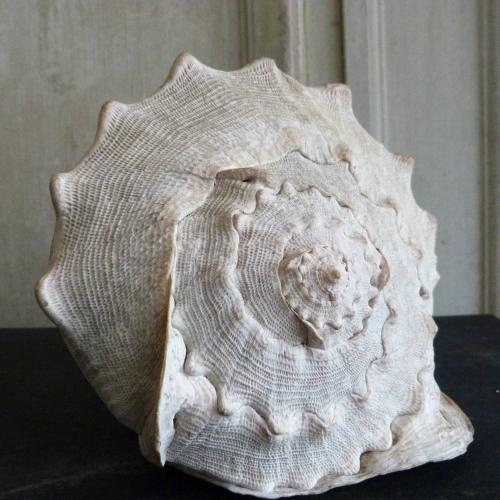 VERY LARGE CONCH SHELL