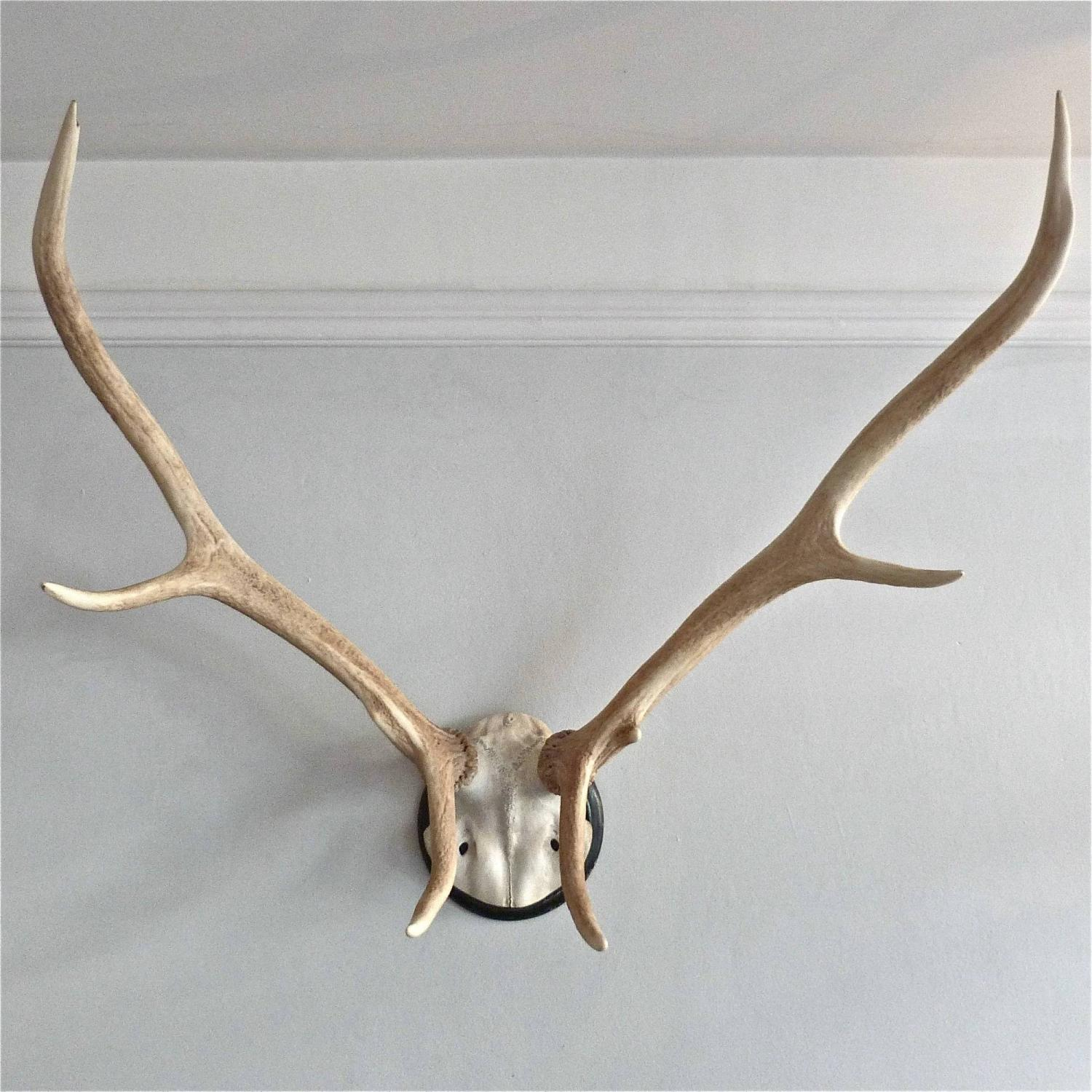 EARLY 20TH CENTURY BLEACHED STAG ANTLERS