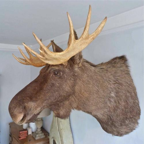 LARGE TAXIDERMY ELK (MOOSE) FROM NORTHERN SWEDEN