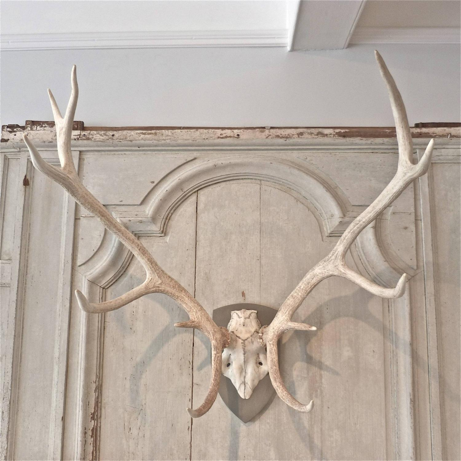ELEVEN POINT BLEACHED RED STAG ANTLERS