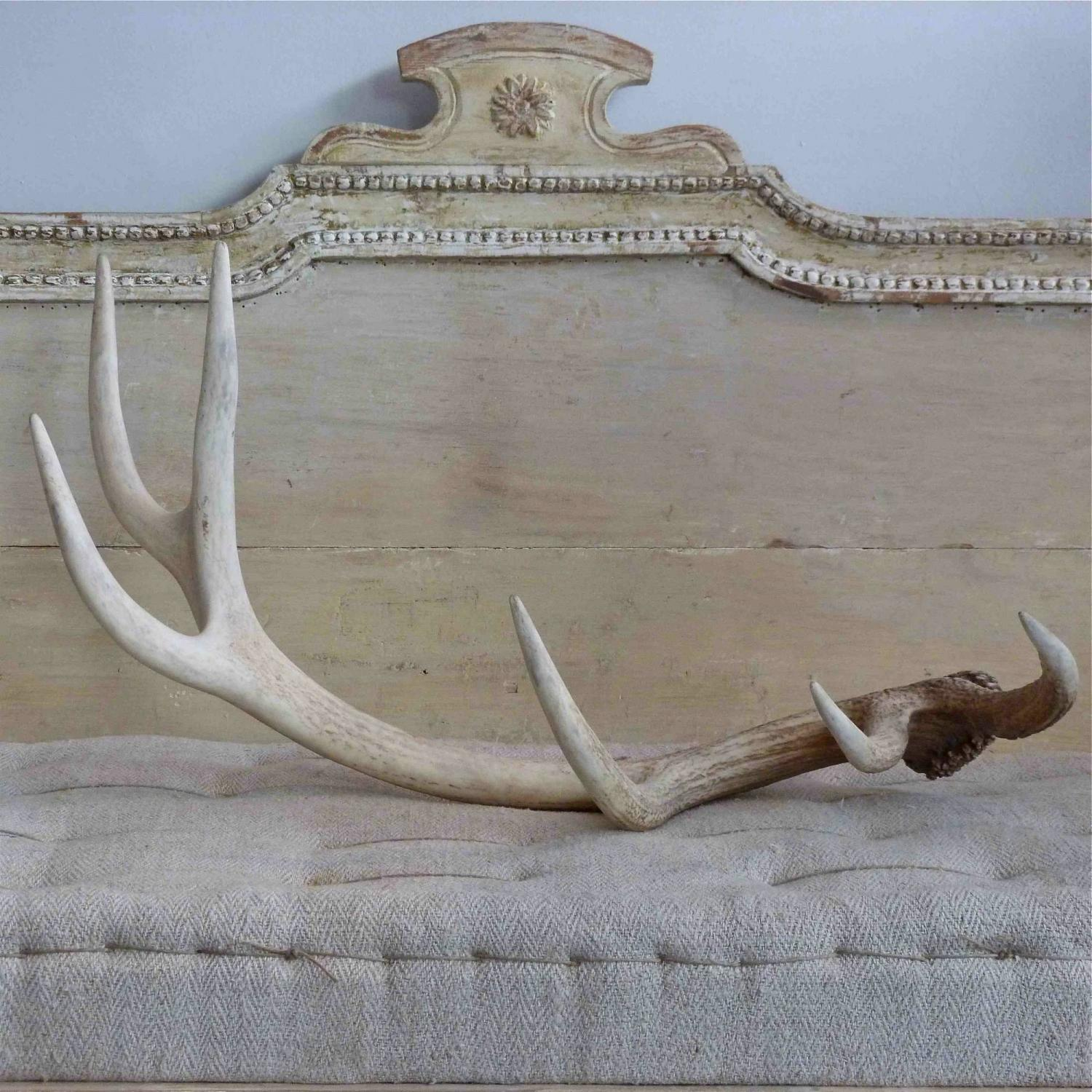 VERY LARGE BLEACHED STAG ANTLERS