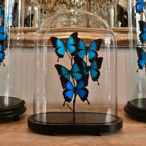 VINTAGE DOME WITH BEAUTIFUL PAPILIO ULYSSES BUTTERFLIES