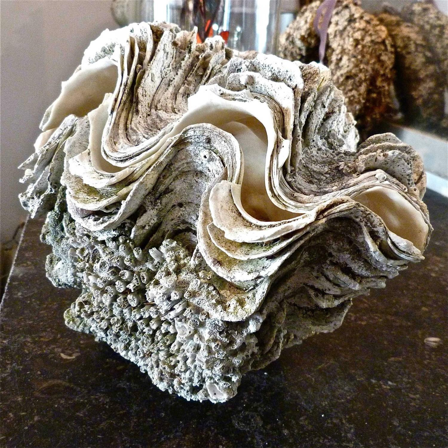 COMPLETE SOUTH PACIFIC GIANT CLAM SHELL