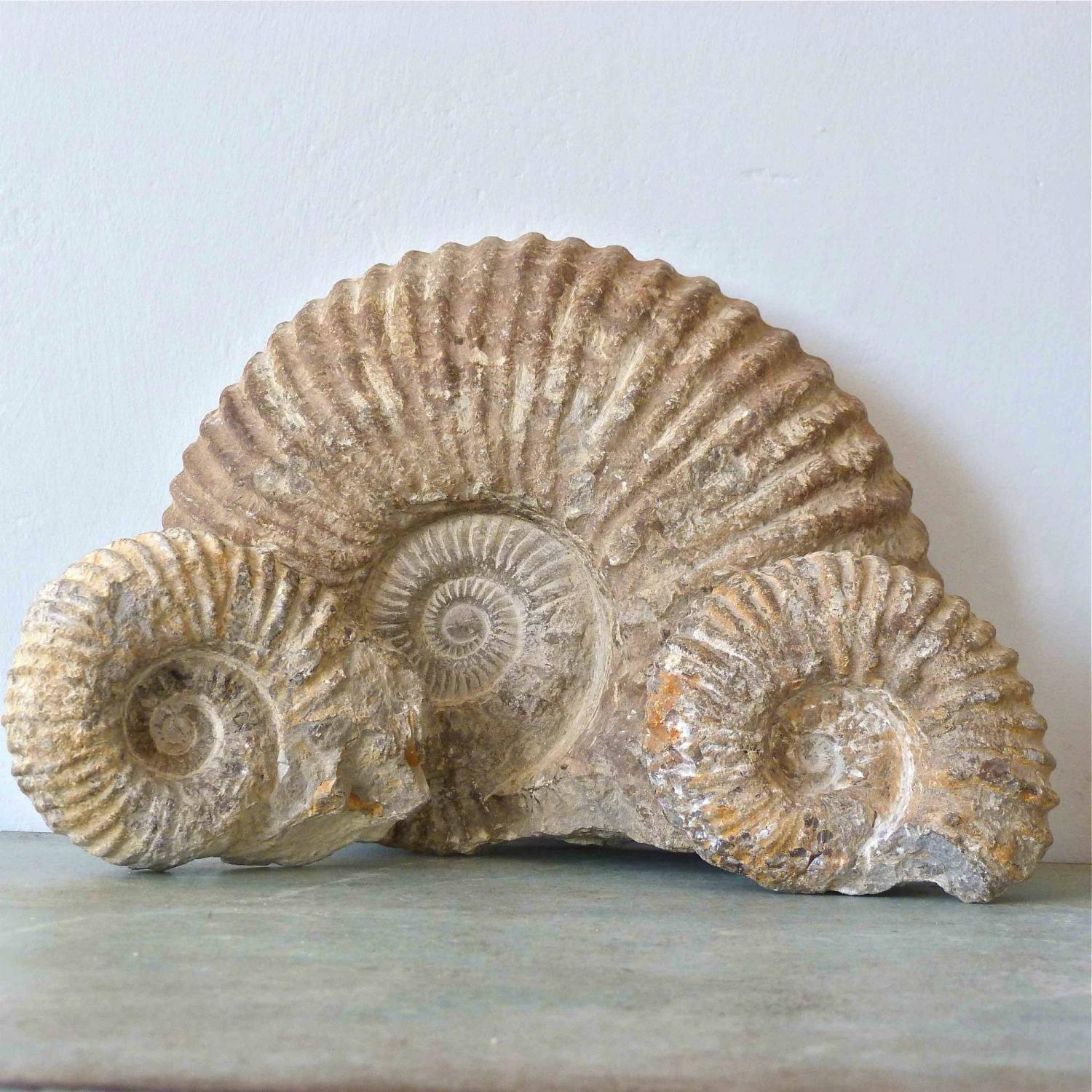 SET OF THREE MORTONICERAS AMMONITE FOSSILS