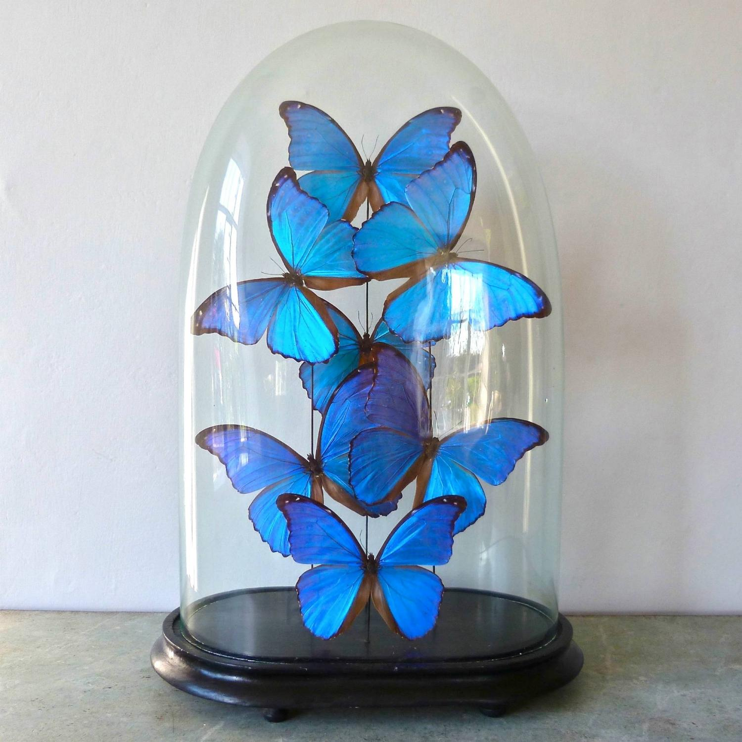 VICTORIAN DOME WITH STUNNING BLUE MORPHUS BUTTERFLIES