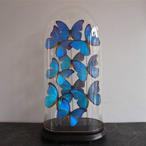 BLUE MORPHUS BUTTERFLY DOME