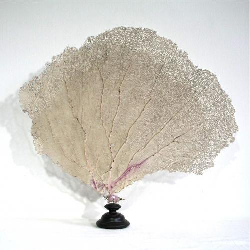 LARGE MOUNTED ANTIQUE VENUS SEA FAN