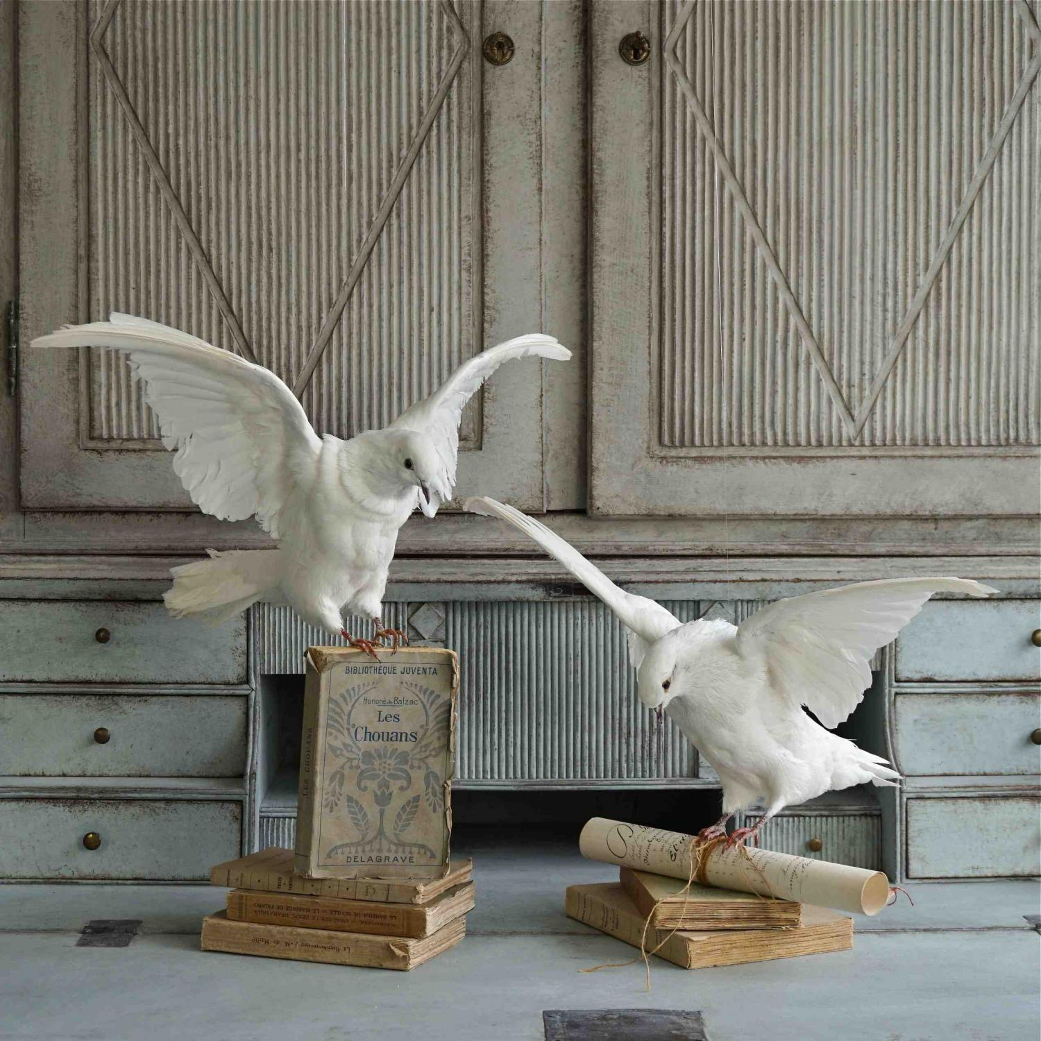 STUNNING PAIR OF TAXIDERMY WHITE DOVES