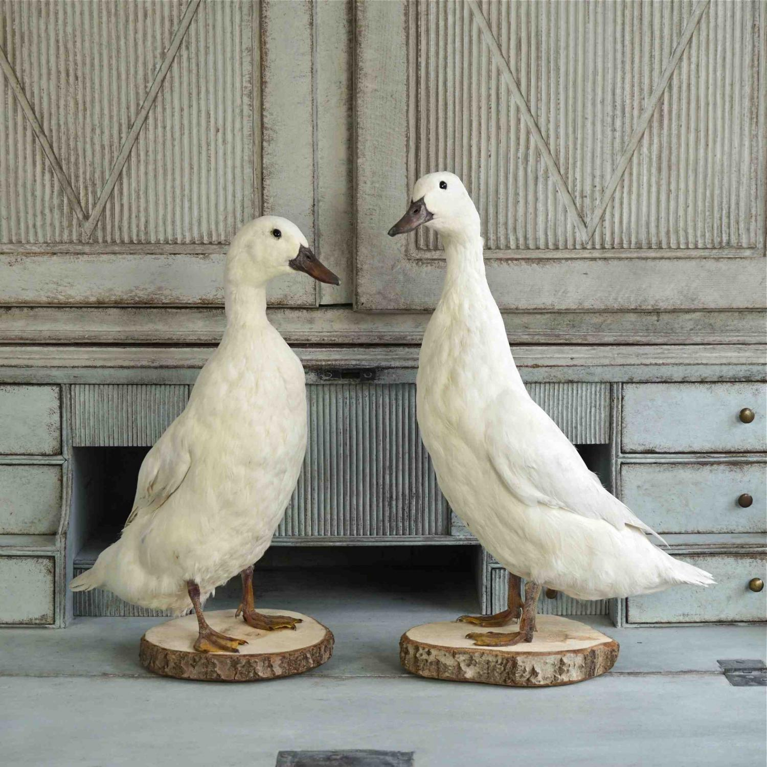 HANDSOME PAIR OF SNOW WHITE DUCKS in
