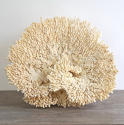 EXCEPTIONAL LARGE WHITE CORAL FRAGMENT - picture 2