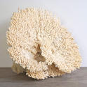 EXCEPTIONAL LARGE WHITE CORAL FRAGMENT - picture 4