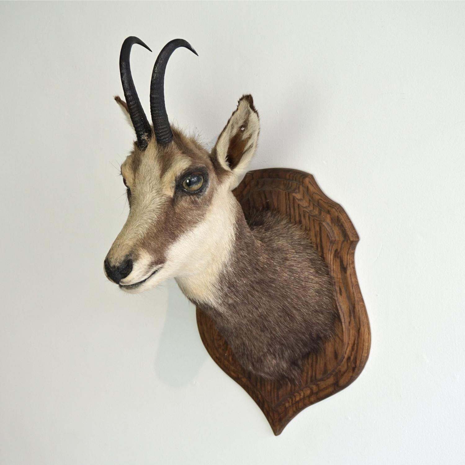 ALPINE CHAMOIS TAXIDERMY MOUNT