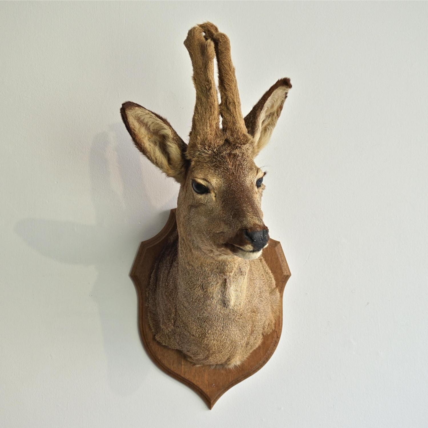 VINTAGE ROE DEER TAXIDERMY MOUNT