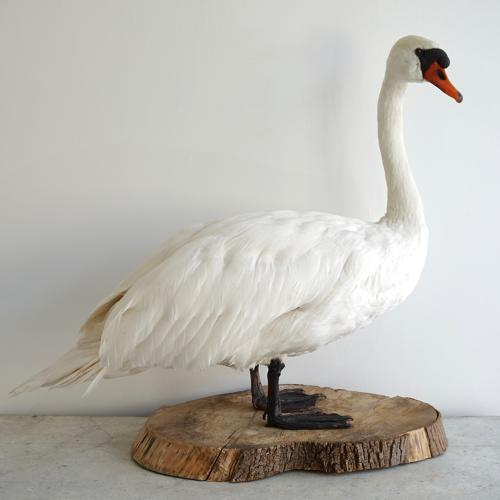 EXCEPTIONAL VINTAGE TAXIDERMY WHITE SWAN