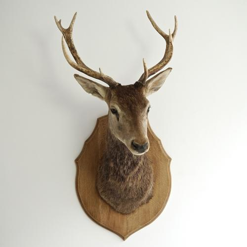 MAGNIFICENT 1920'S RED STAG SHOULDER MOUNT