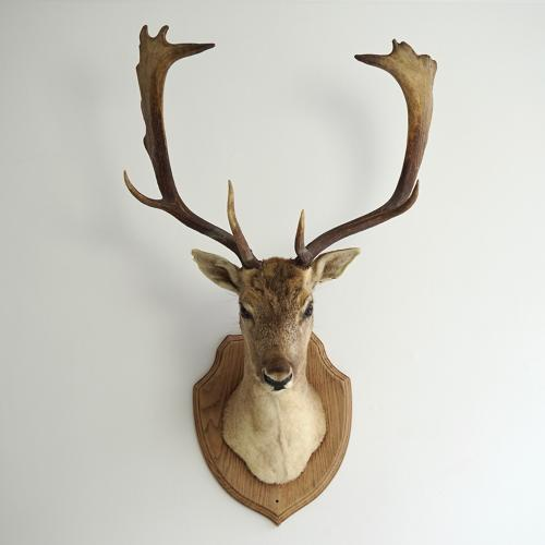 WONDERFUL FALLOW DEER TAXIDERMY MOUNT