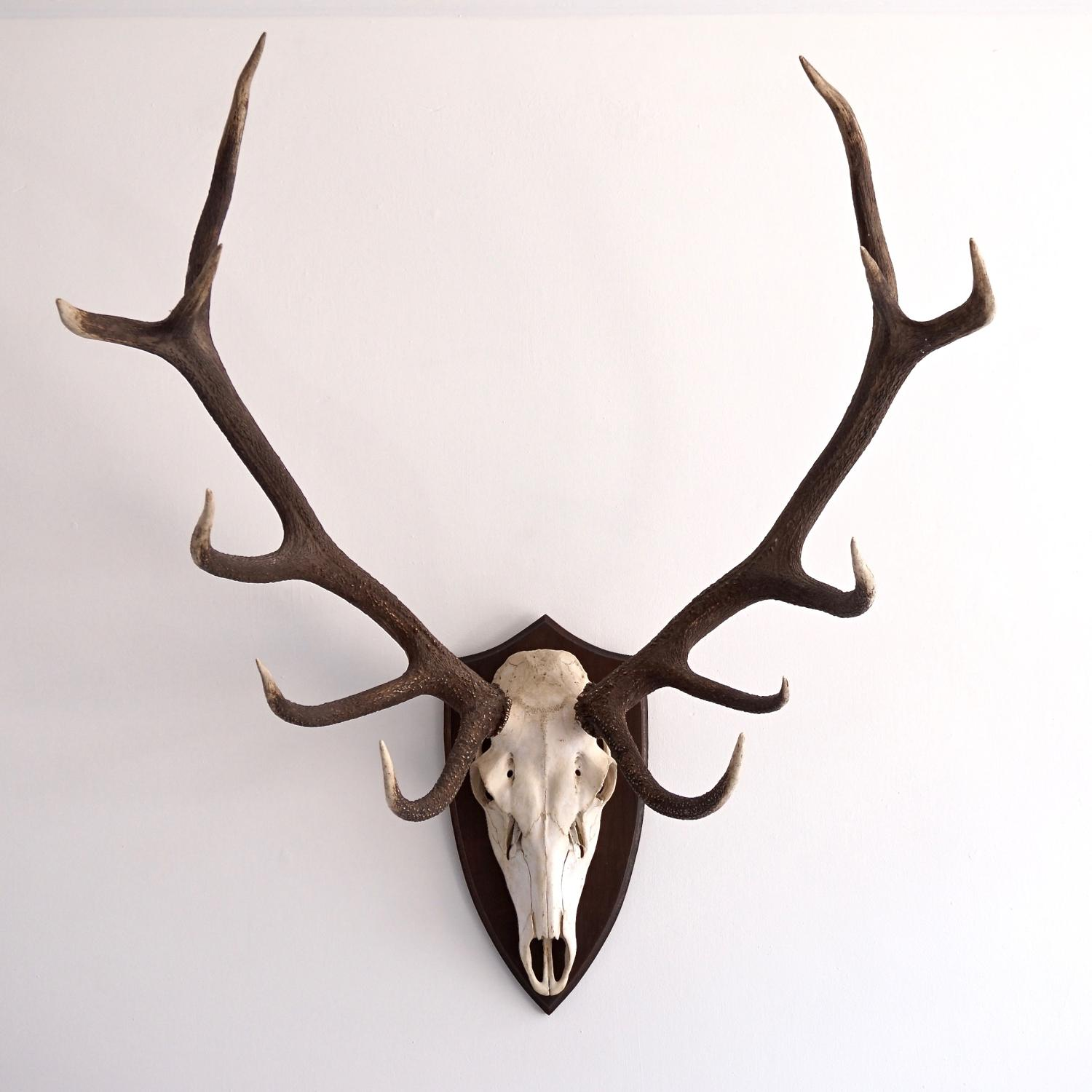 MAGNIFICENT 12 POINT RED STAG ANTLER MOUNT