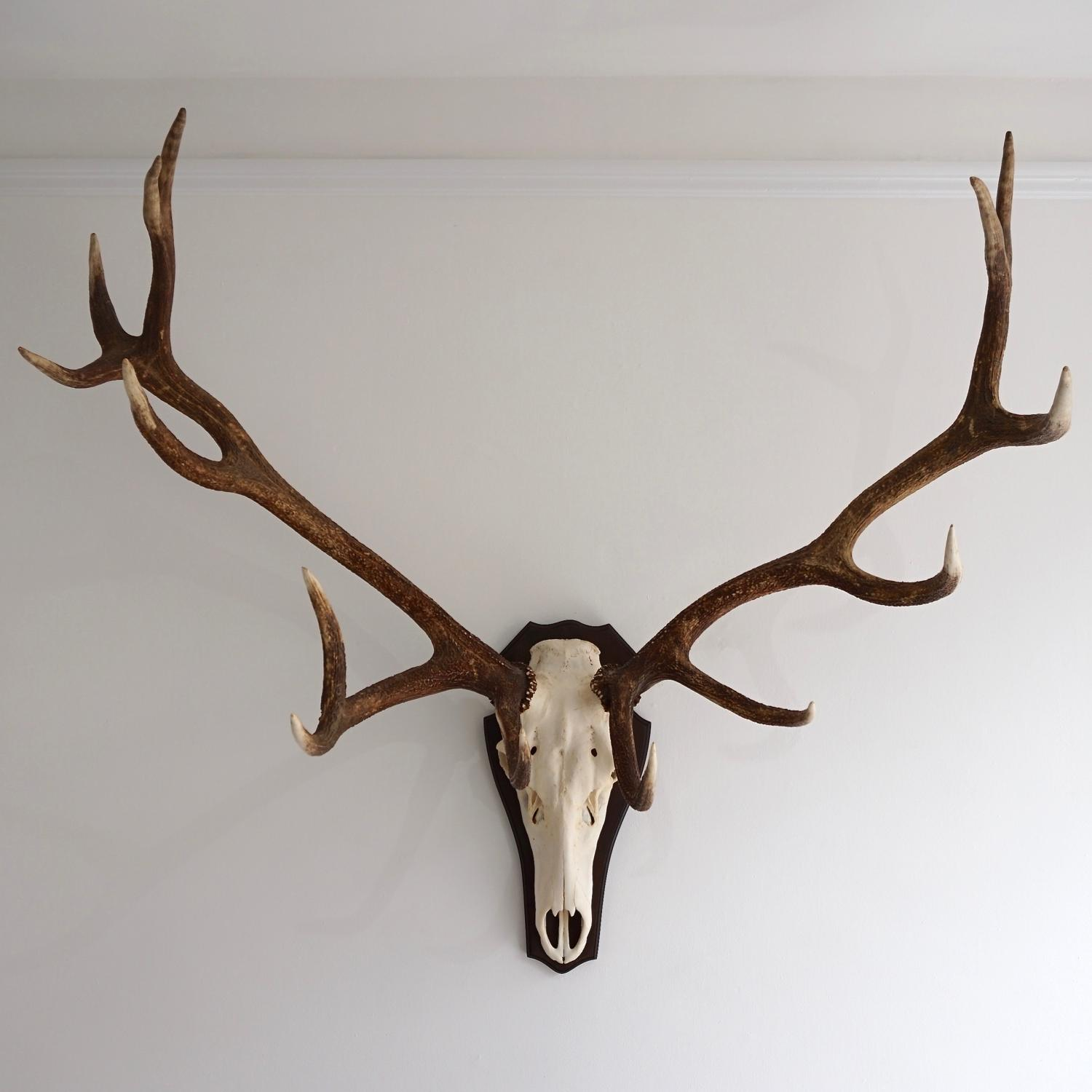 INCREDIBLE 14 POINT RED STAG ANTLER MOUNT