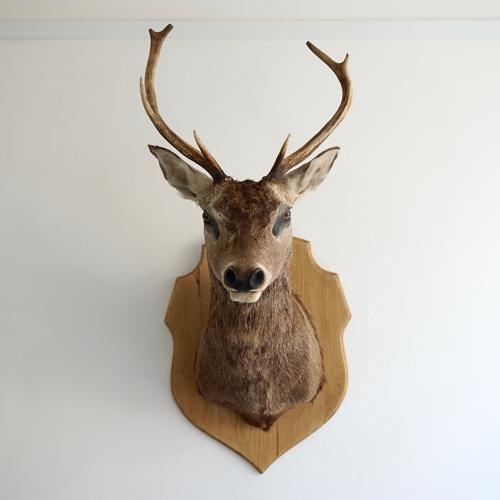 VINTAGE EUROPEAN RED STAG SHOULDER MOUNT