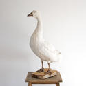 MAJESTIC SNOW WHITE GOOSE TAXIDERMY MOUNT - picture 1