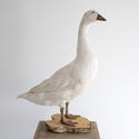 MAJESTIC SNOW WHITE GOOSE TAXIDERMY MOUNT - picture 2