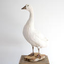 MAJESTIC SNOW WHITE GOOSE TAXIDERMY MOUNT - picture 3