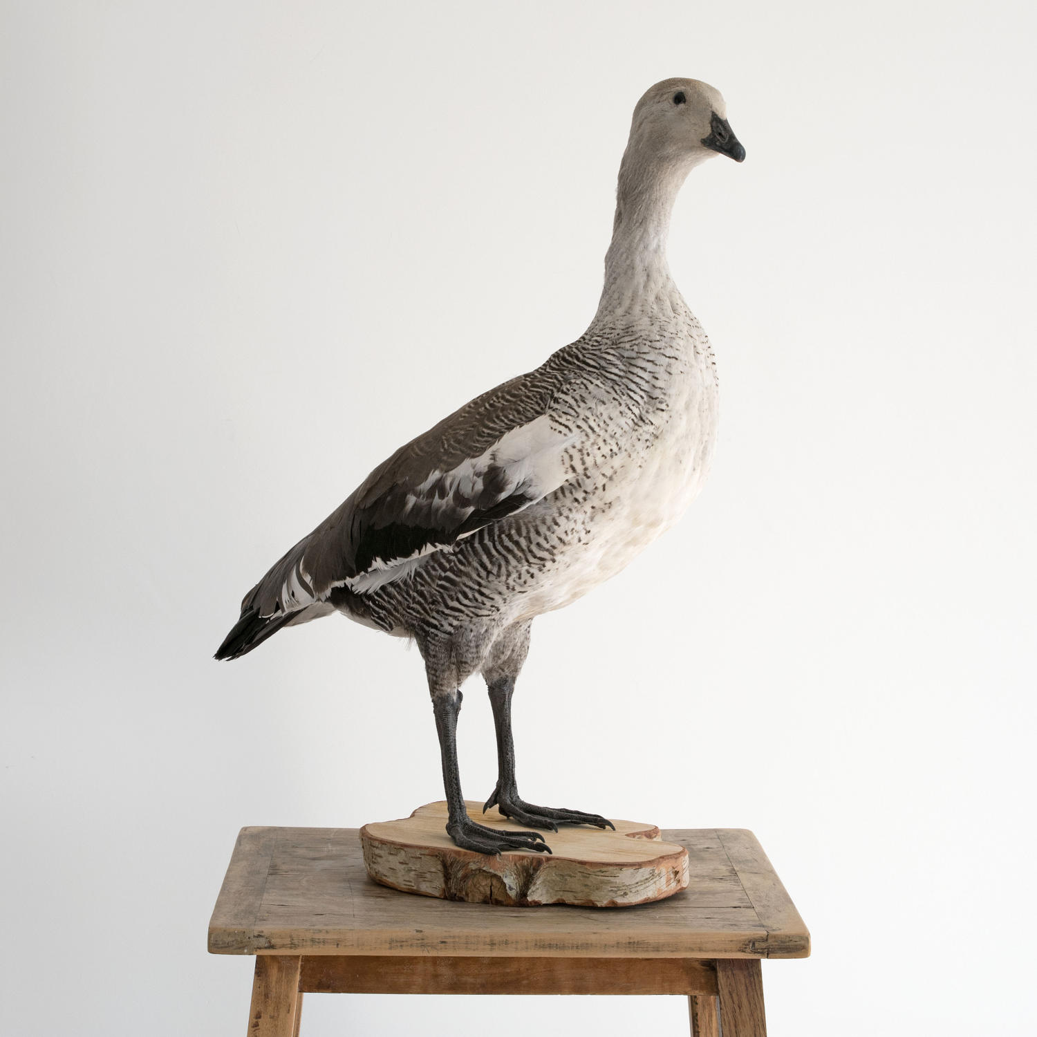 GREATER MAGELLAN GOOSE VINTAGE TAXIDERMY MOUNT