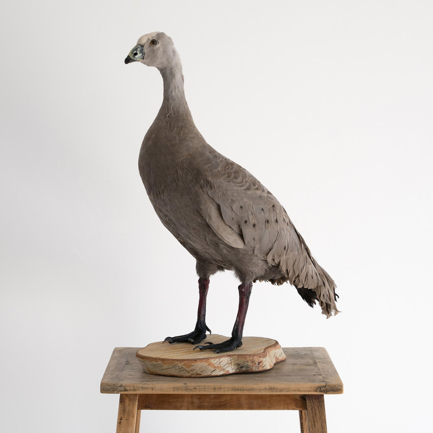VINTAGE CAPE BARREN GOOSE TAXIDERMY MOUNT