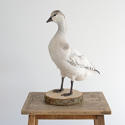 TAXIDERMY WHITE DUCK MOUNTED ON A WOODEN BASE - picture 1