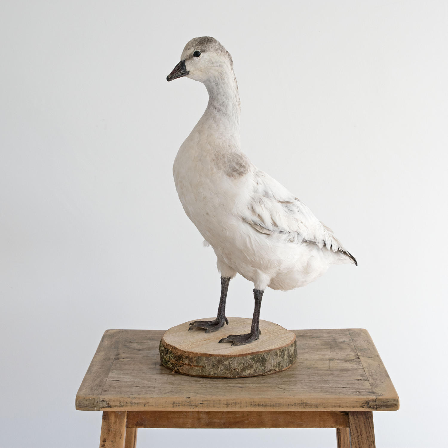 TAXIDERMY WHITE DUCK MOUNTED ON A WOODEN BASE
