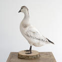 TAXIDERMY WHITE DUCK MOUNTED ON A WOODEN BASE - picture 3