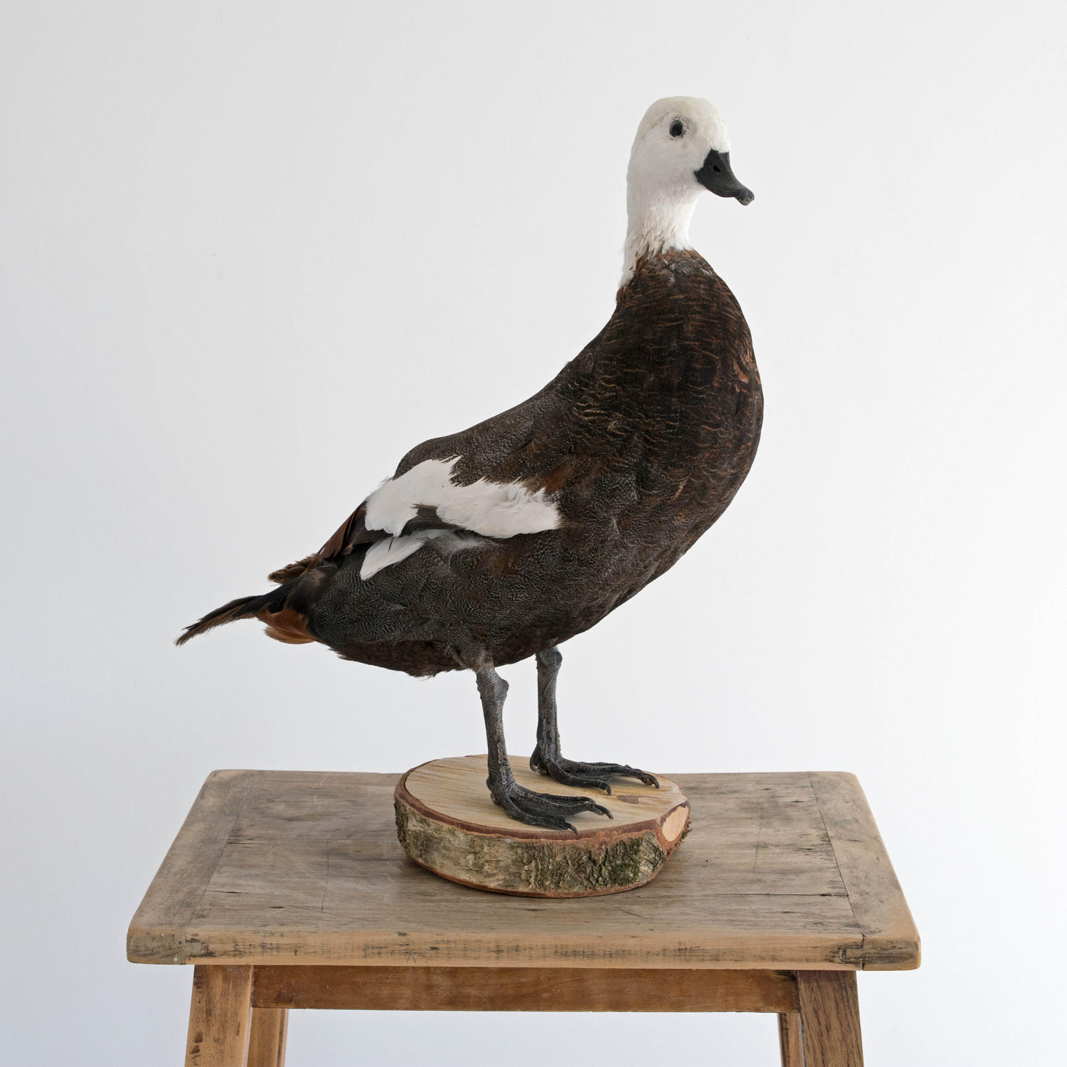 BEAUTIFUL PLUMAGE TAXIDERMY DUCK MOUNT