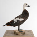 BEAUTIFUL PLUMAGE TAXIDERMY DUCK MOUNT - picture 3