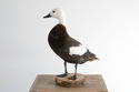 BEAUTIFUL PLUMAGE TAXIDERMY DUCK MOUNT - picture 4