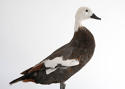 BEAUTIFUL PLUMAGE TAXIDERMY DUCK MOUNT - picture 5