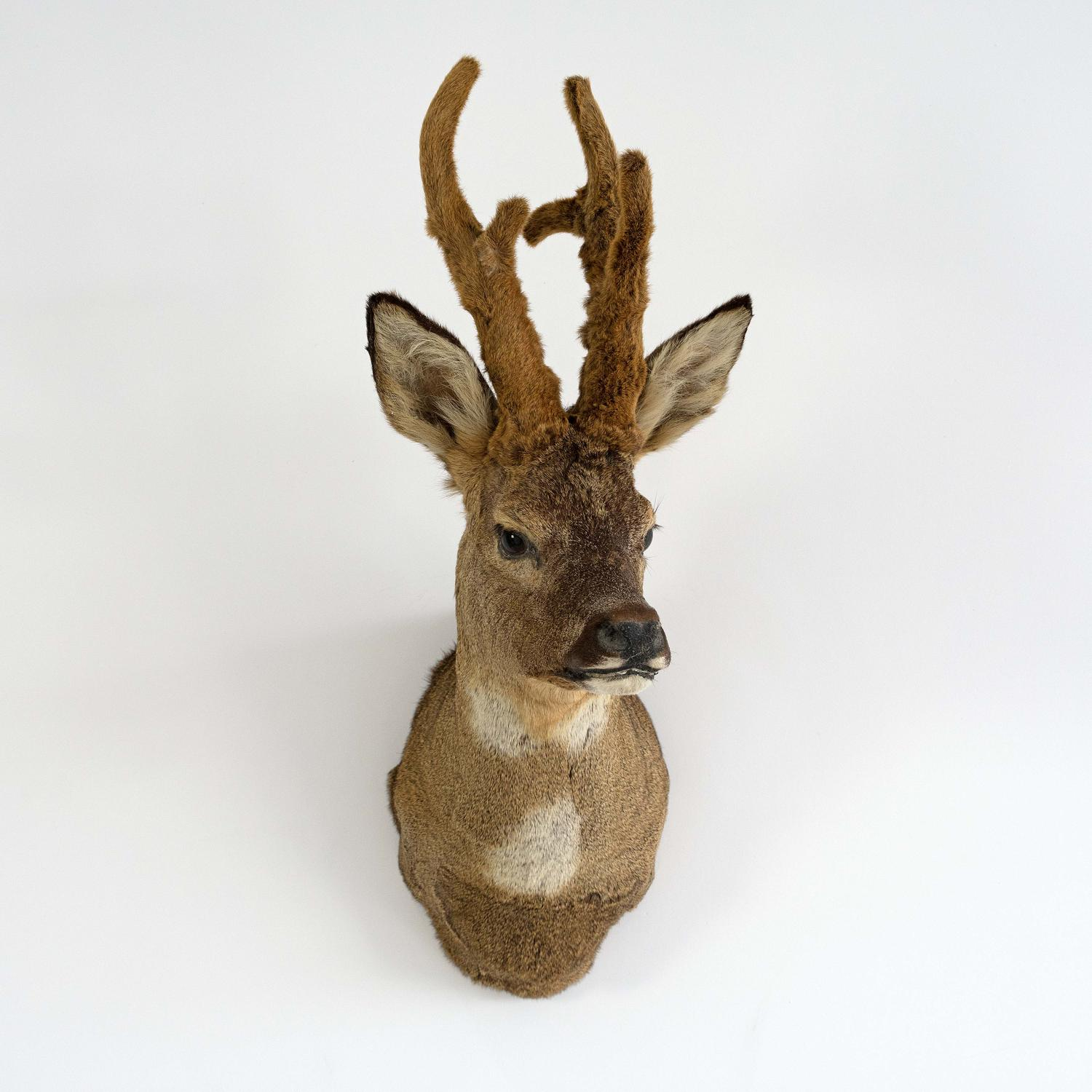 ROE DEER SHOULDER MOUNT