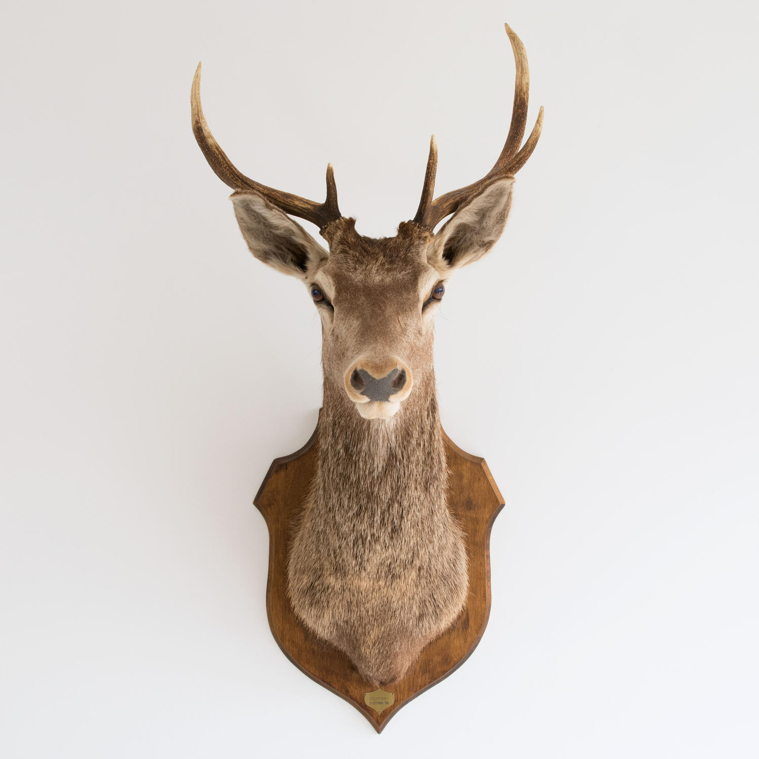 RED STAG SHOULDER MOUNT