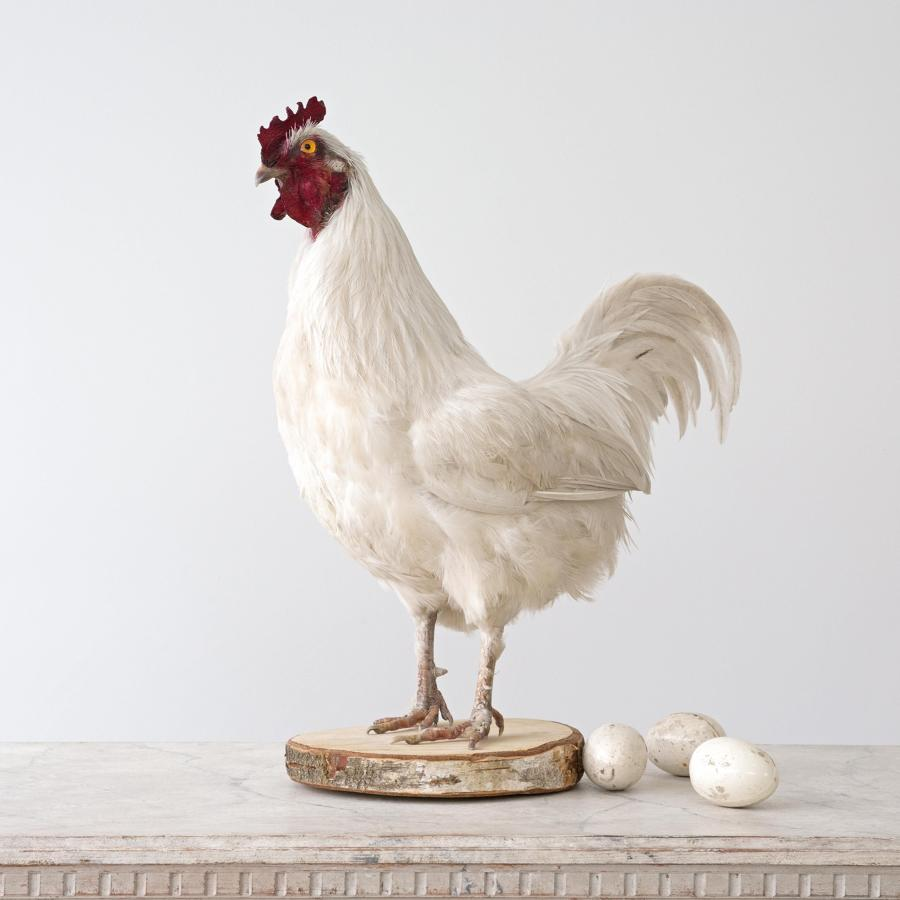 WHITE COCKEREL TAXIDERMY MOUNT