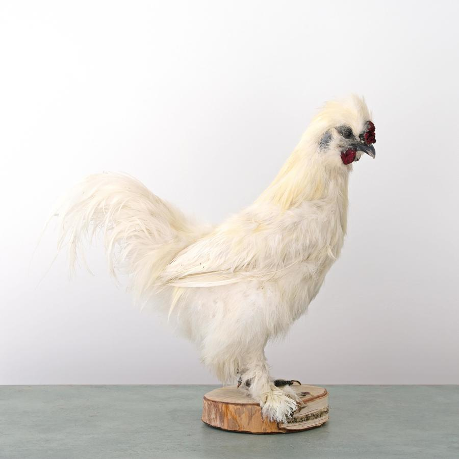 COCKEREL TAXIDERMY MOUNT