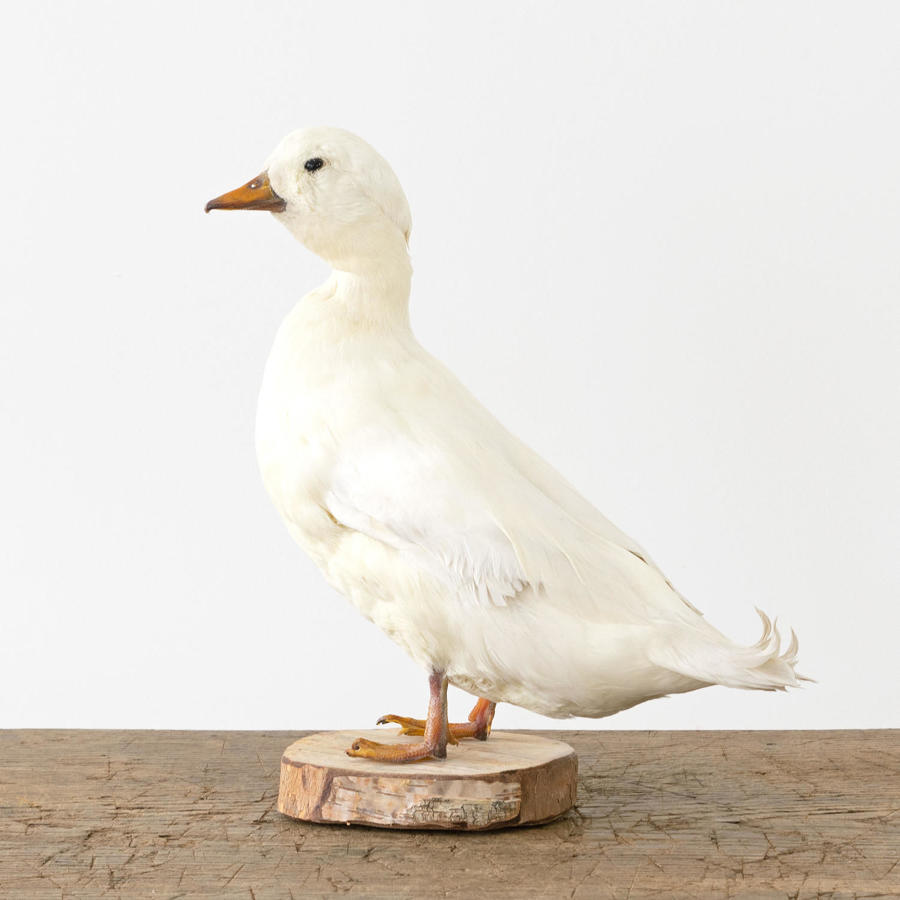 WHITE TAXIDERMY DUCK
