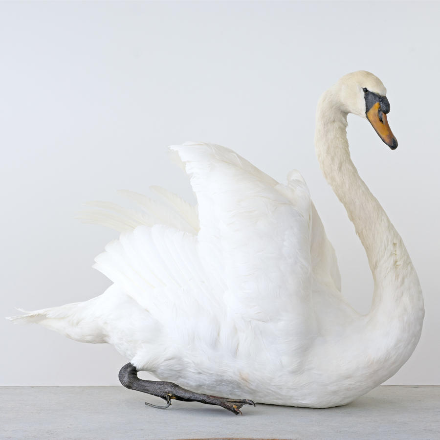 EXCEPTIONAL TAXIDERMY SWAN