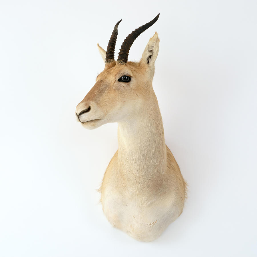 SPRINGBOK TAXIDERMY MOUNT