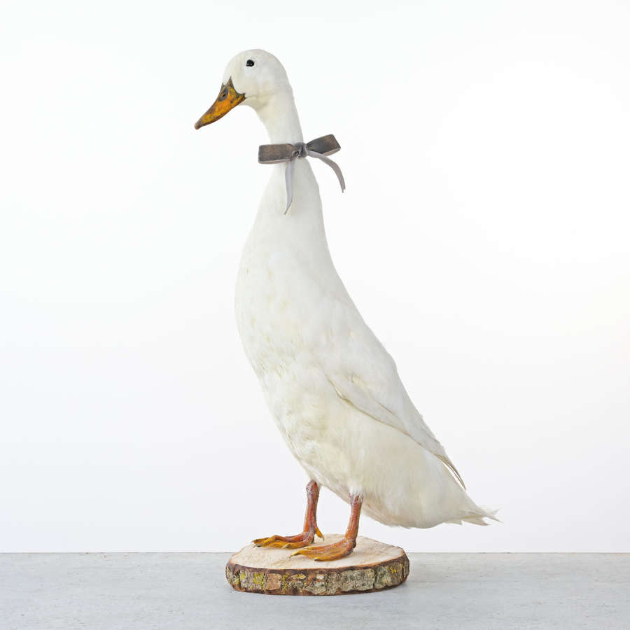 TAXIDERMY WHITE DUCK